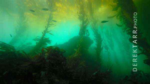photograph of Underwater Forest