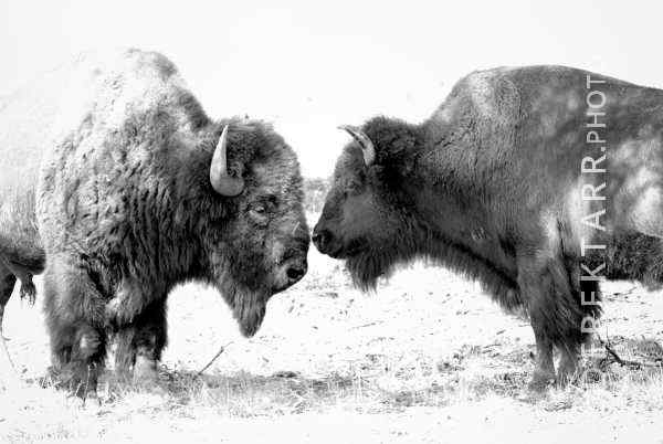 photograph of Pair of Bison