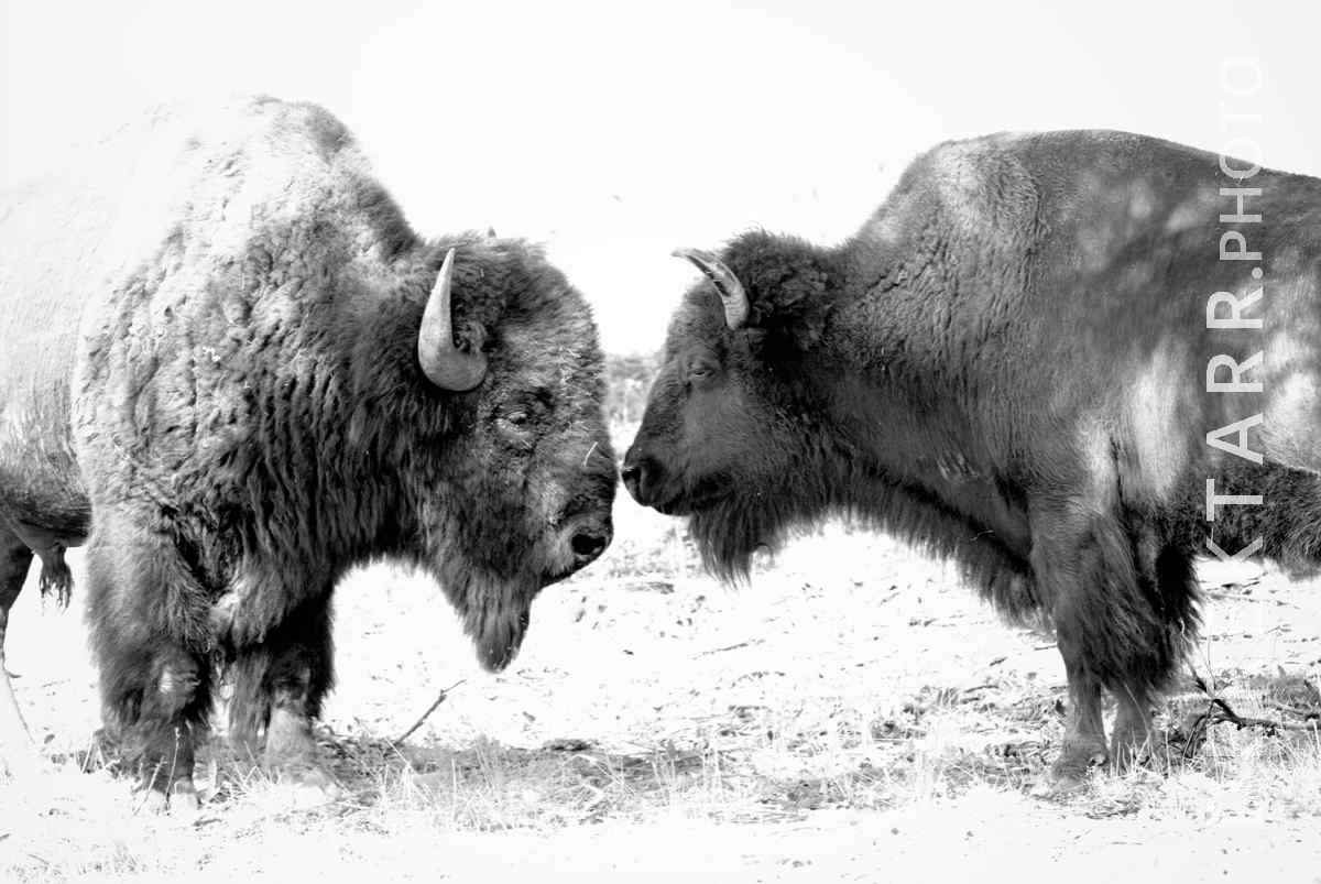 large view of photograph of Pair of Bison