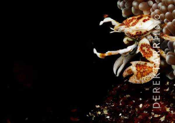 Anemone Crab photo