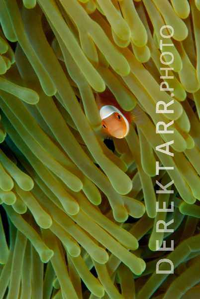 Anemonefish in Anemone