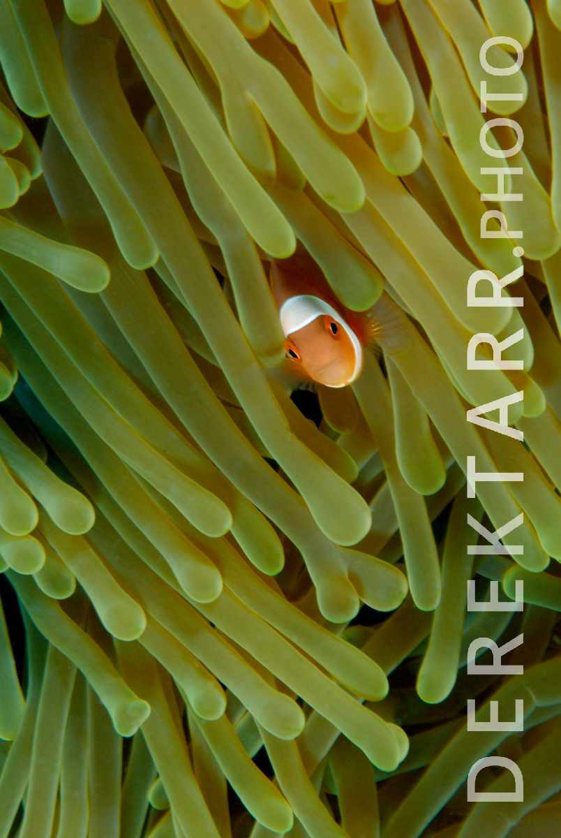 large view of Anemonefish in Anemone