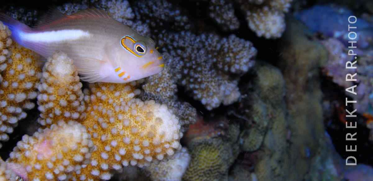 large view of photograph of Arc-Eye Hawkfish