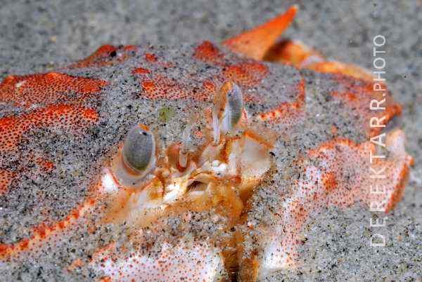 Armed Box Crab Portrait