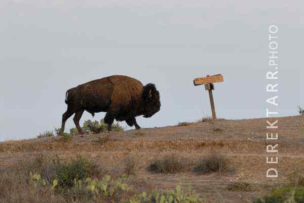 Bison at Black Jack