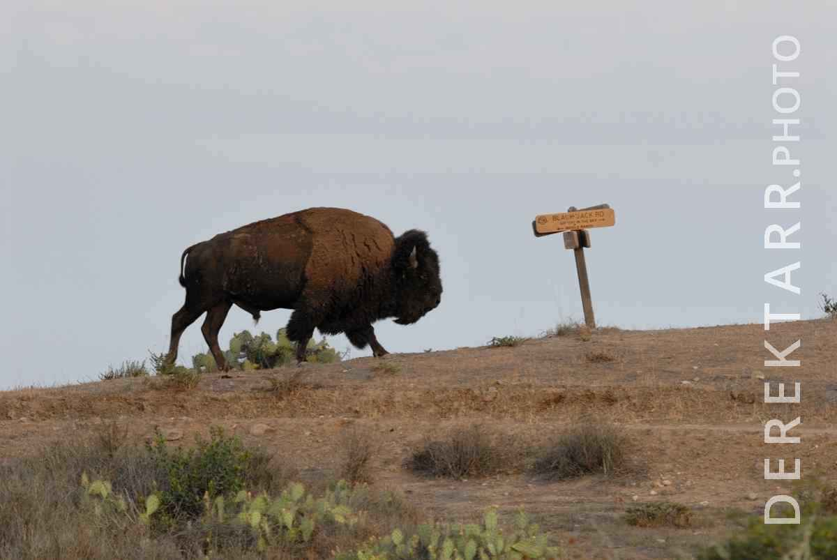 large view of Bison at Black Jack