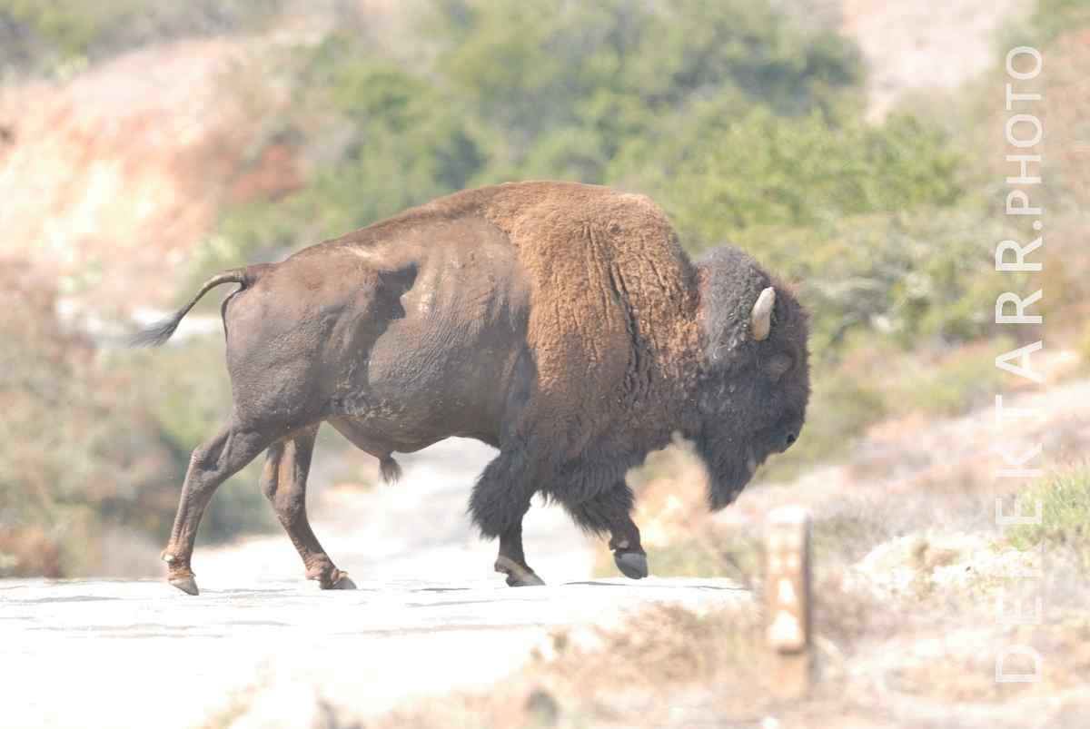 large view of Why Did the Bison Cross the Road?