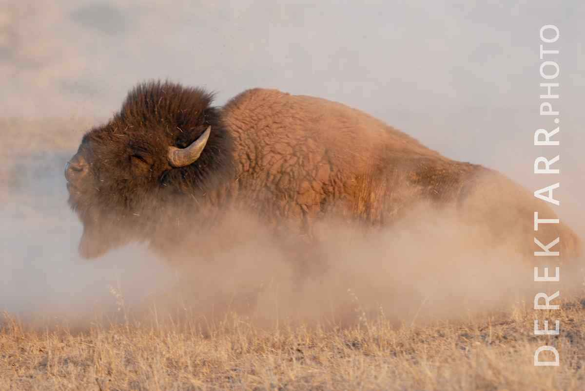 large view of Bison Shake Off