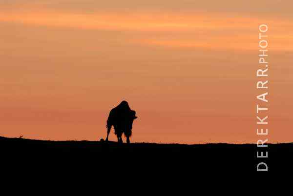 Bison Silhouette at Sunset