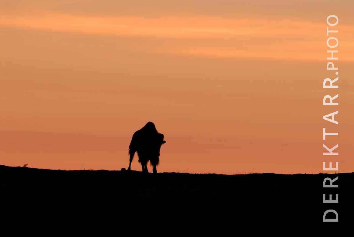 large view of Bison Silhouette at Sunset