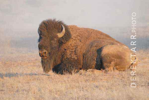Bison Taking a Break After a Warm Day