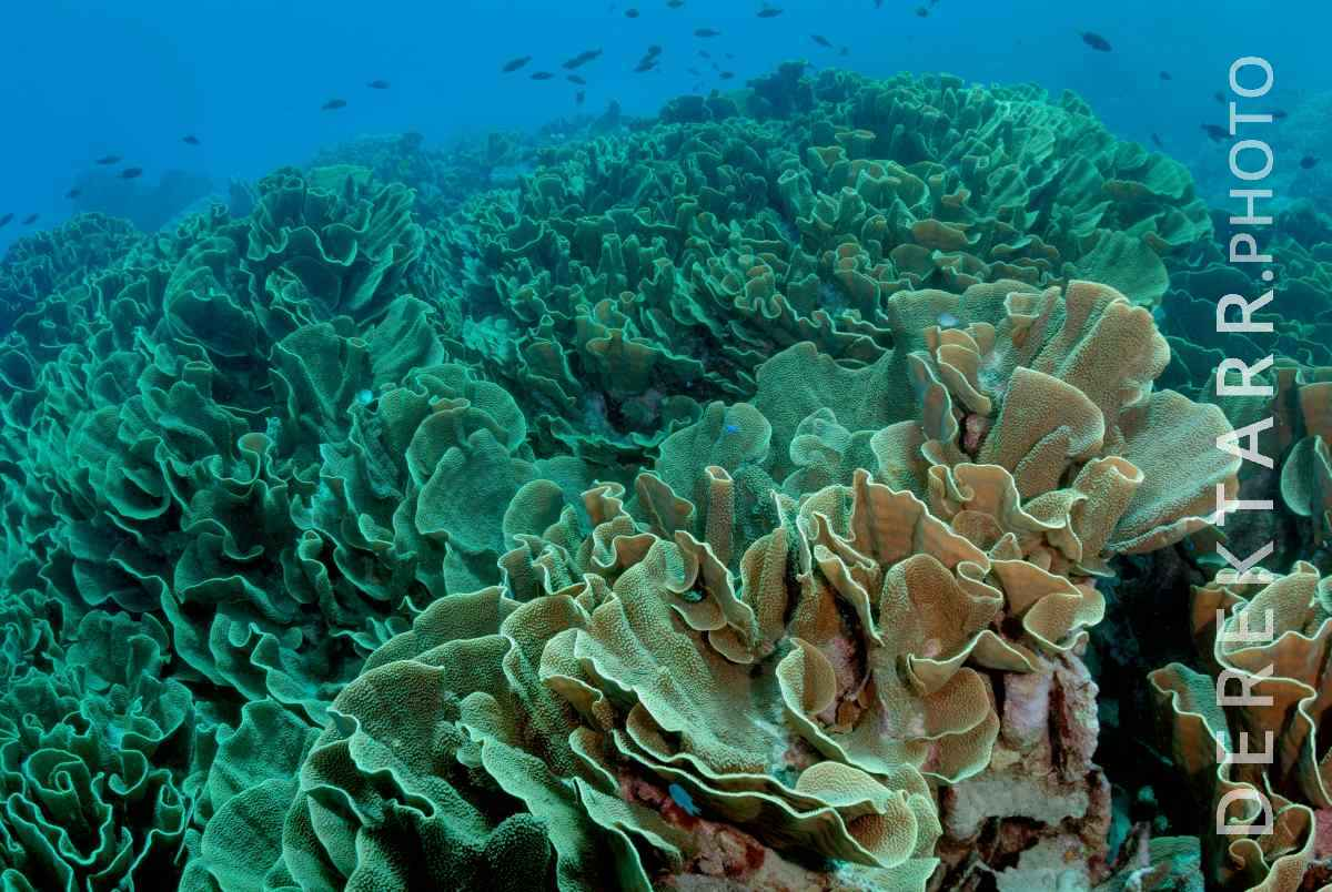 large view of Cabbage Coral at the Cabbage Patch