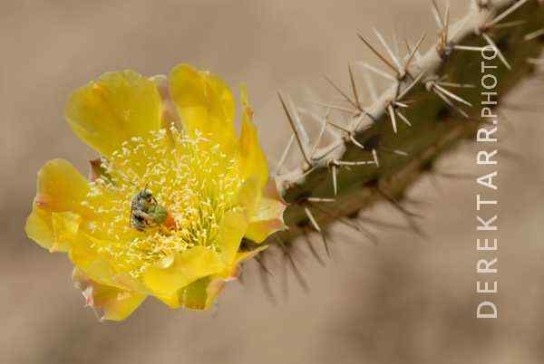 Cactus Flower on Catalina Island
