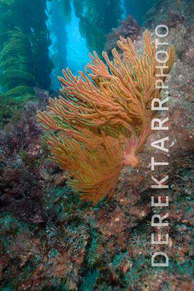 California Golden Gorgonian