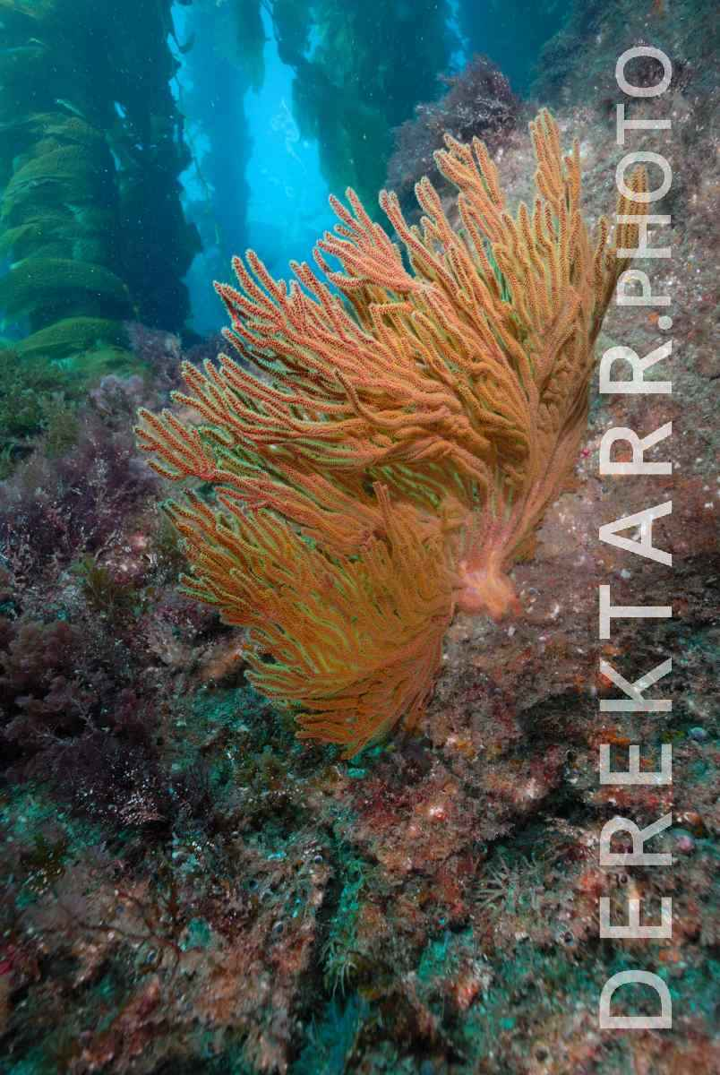 large view of California Golden Gorgonian