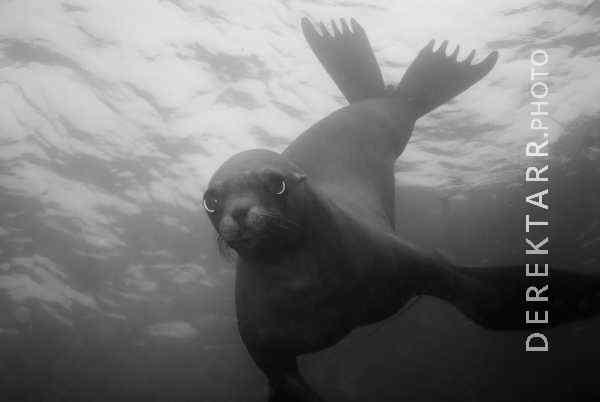 California Sea Lion (Zalophus californianus) underwater