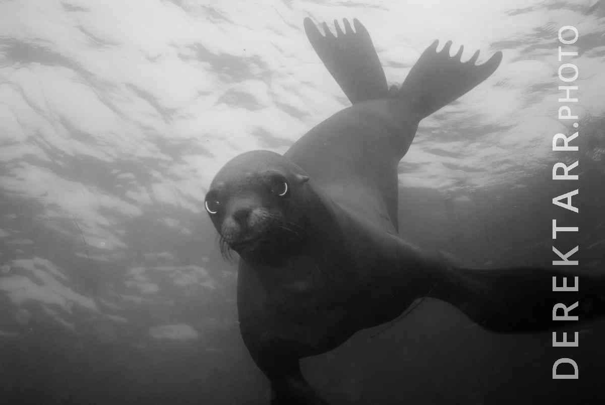 large view of California Sea Lion (Zalophus californianus) underwater