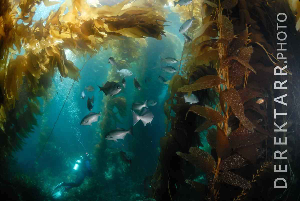 large view of Halfmoons in the Kelp