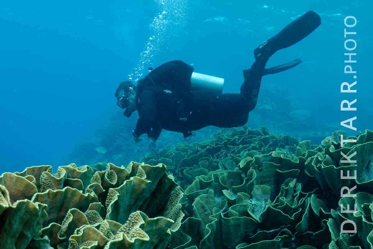 large view of Diver Swimming over Cabbage Coral