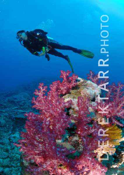 Woman Scuba Dives over Fiji Soft Coral