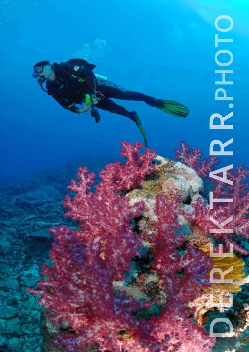 large view of Woman Scuba Dives over Fiji Soft Coral