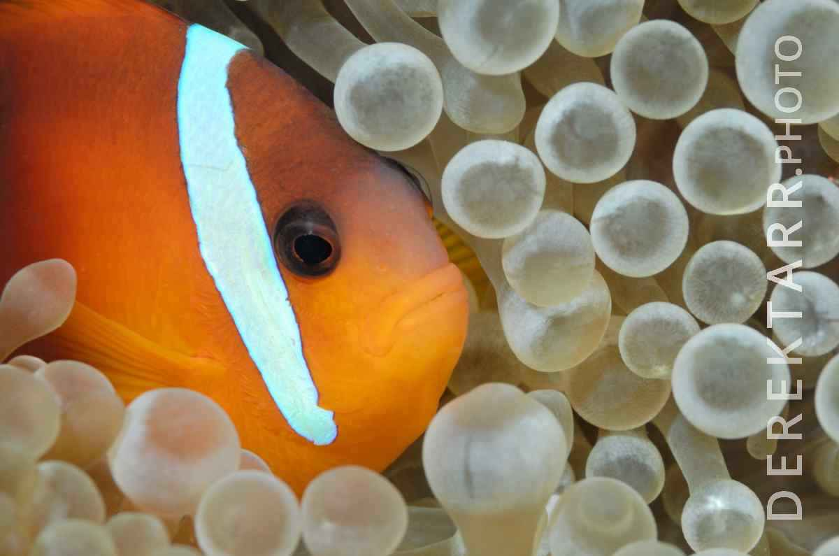 large view of Fire Clownfish
