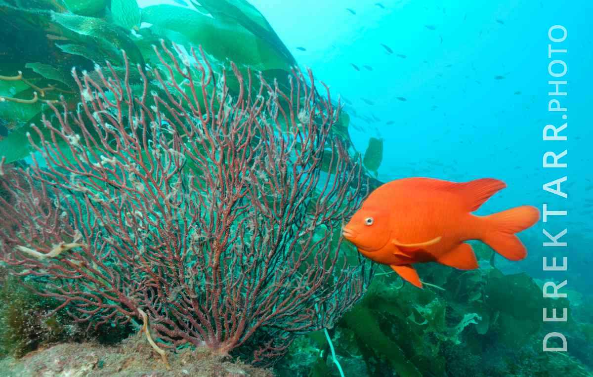 large view of Gorgonian, Garibaldi
