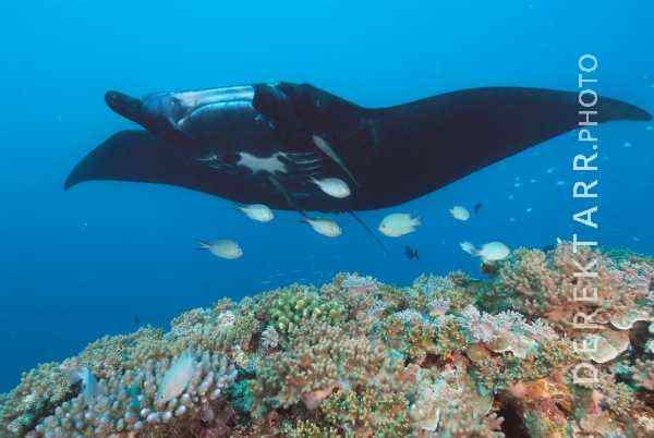 Manta Ray Over Coral Reef