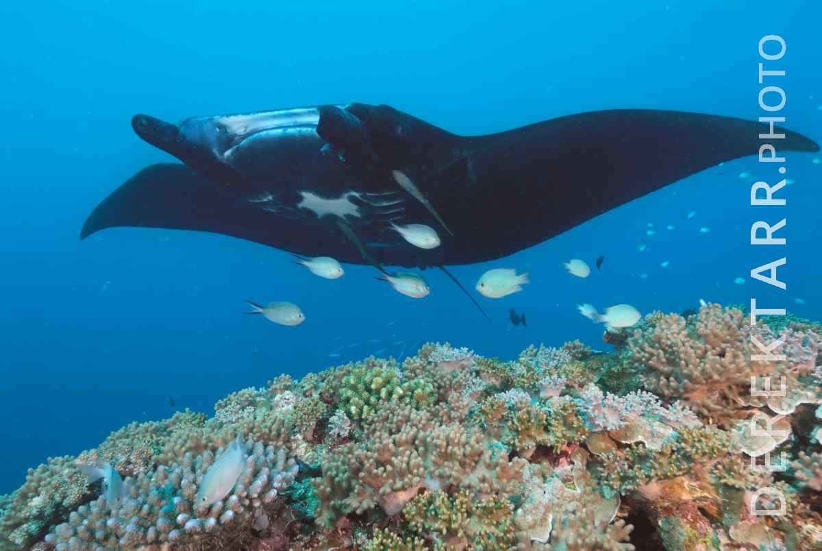 large view of Manta Ray Over Coral Reef