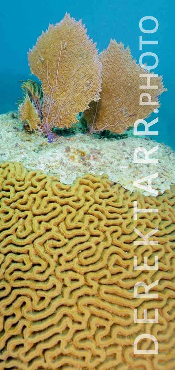 large view of Sea Fans on Florida Brain Coral