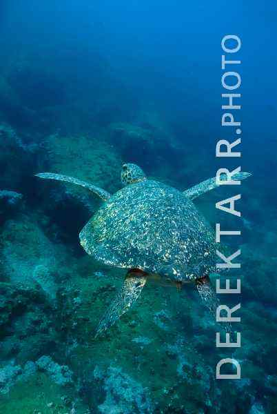 Hawksbill Turtle in the Deep Blue