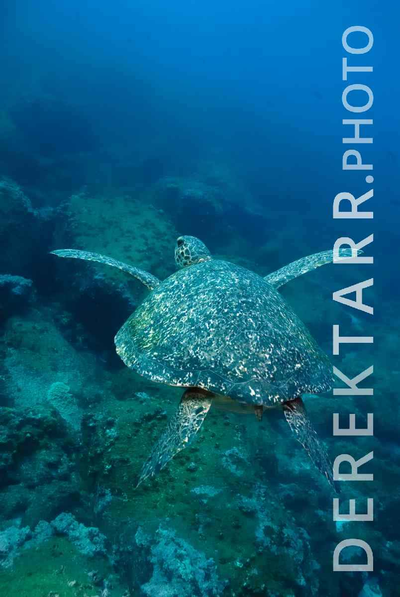large view of Hawksbill Turtle in the Deep Blue