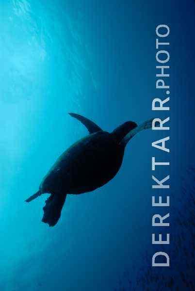 Hawksbill Sea Turtle Silhouette