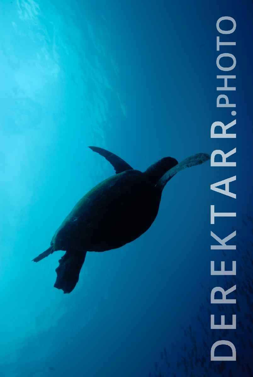 large view of Hawksbill Sea Turtle Silhouette