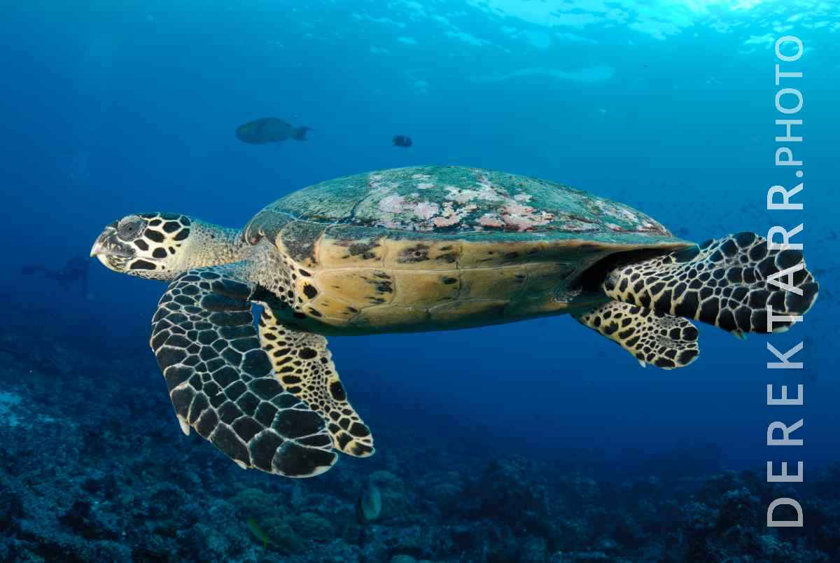 large view of Hawksbill Sea Turtle Swimming