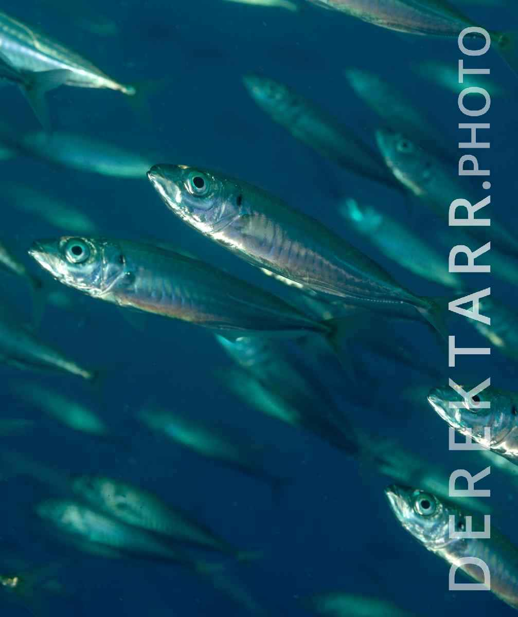 large view of Jack Mackerel