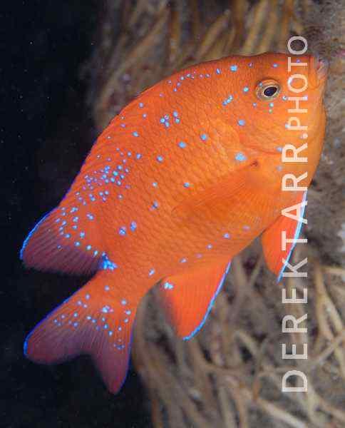 Sub-Adult Garibaldi