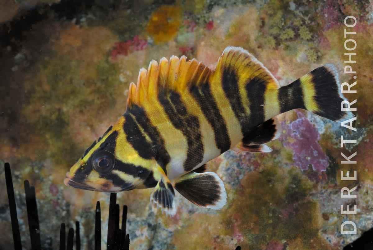 large view of Juvenille Treefish
