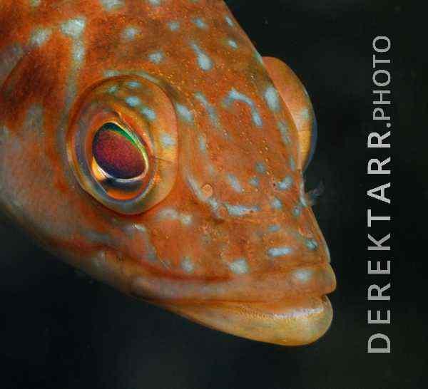 Kelp bass Paralabrax clathratus face