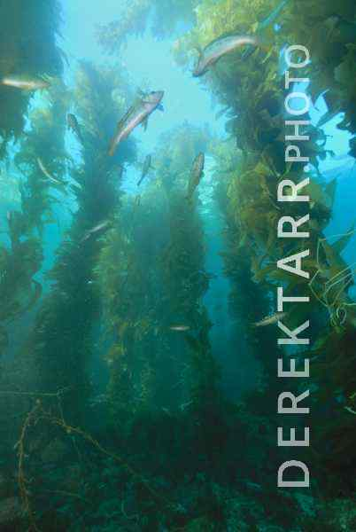 The Kelp Forest of Avalon