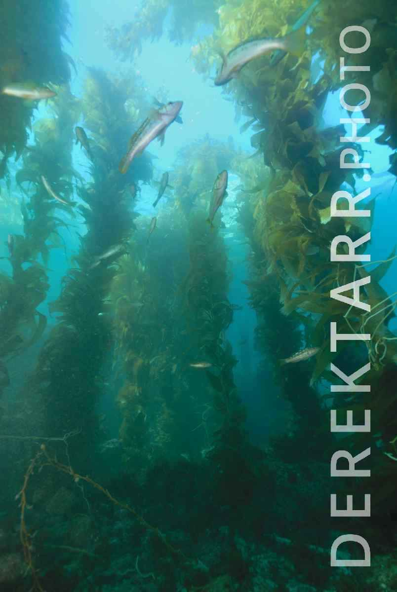 large view of The Kelp Forest of Avalon