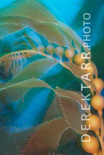 Artful Kelp