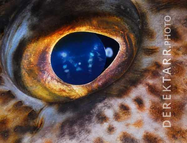 large view of Eye of the Lingcod