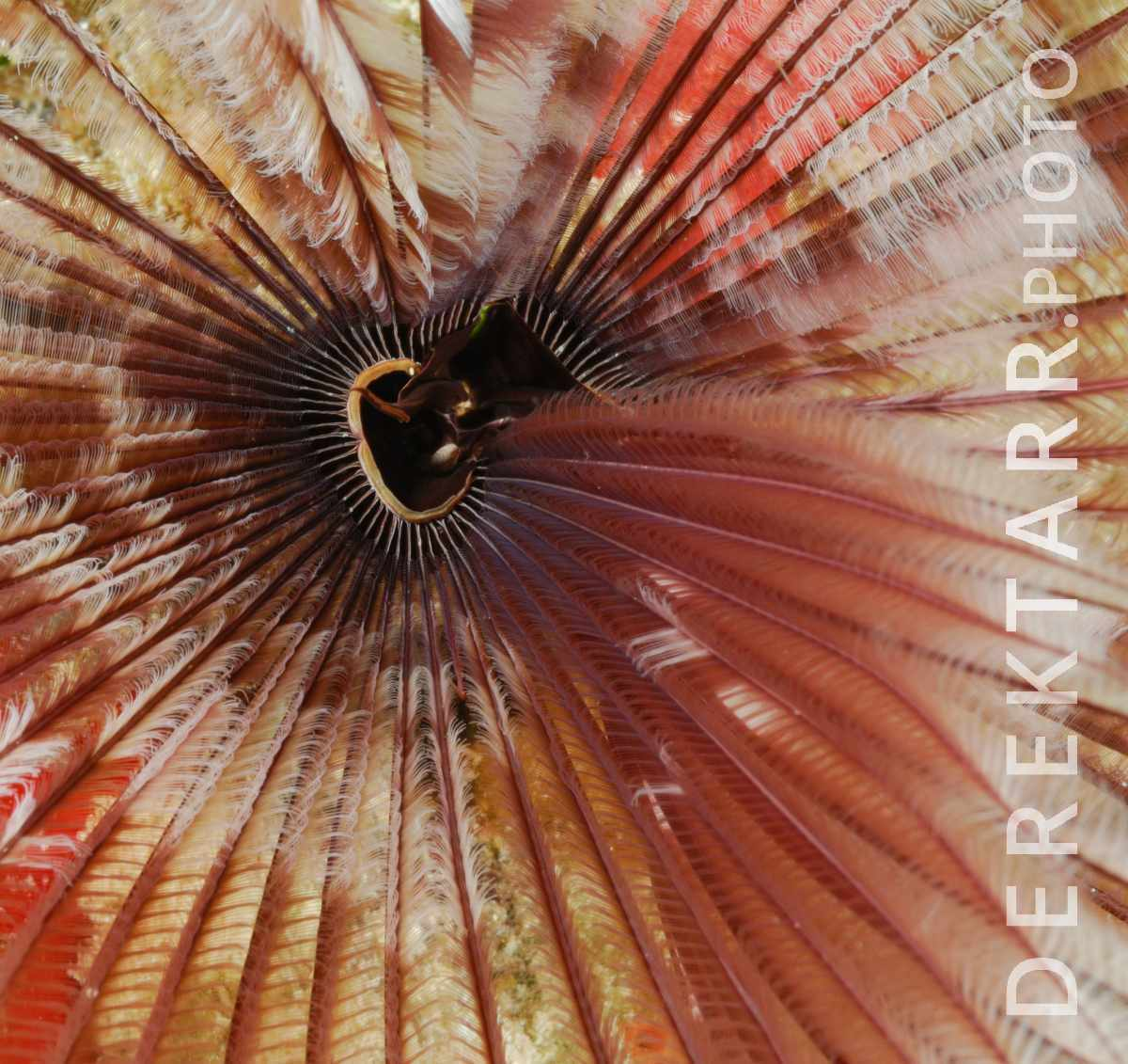large view of The Magnificent Banded Fanworm