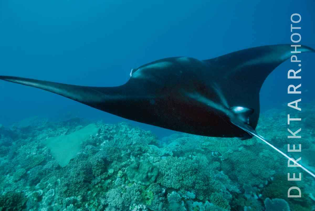 large view of Manta Ray Over Reef