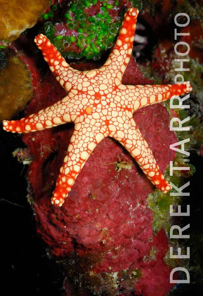 large view of Necklace Sea Star