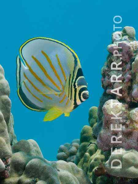 Ornate Butterflyfish on Reef