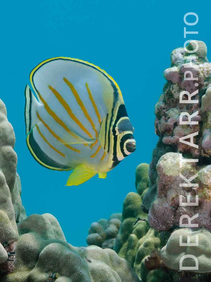 large view of Ornate Butterflyfish on Reef