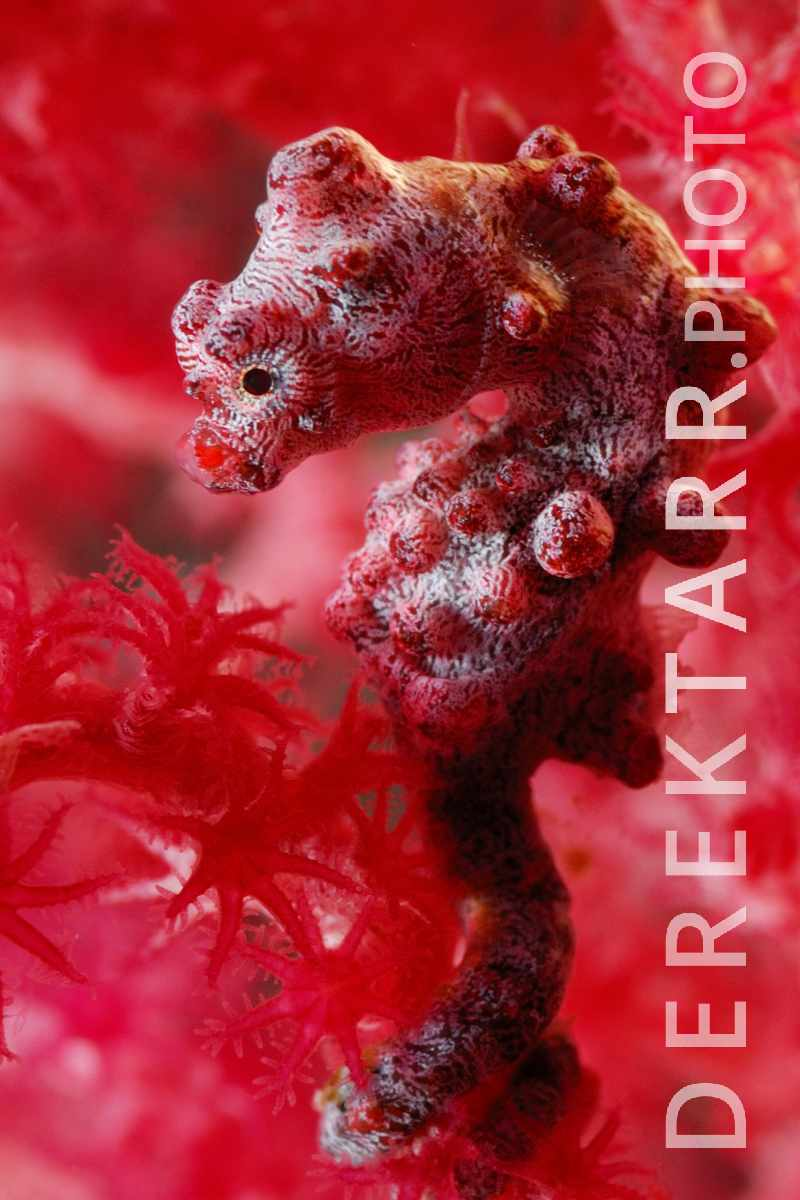 large view of Portrait of a Pygmy Seahorse