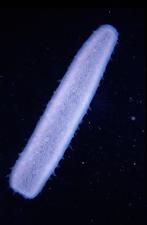 Pyrosoma atlanticum underwater